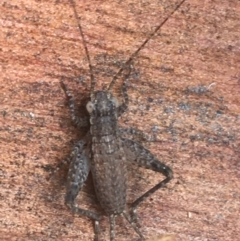 Unidentified All Cricket (Orthoptera, several families) (TBC) at Black Mountain - 7 Apr 2021 by Ned_Johnston