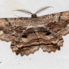Scioglyptis lyciaria (White-patch Bark Moth) at Melba, ACT - 1 Mar 2021 by Bron