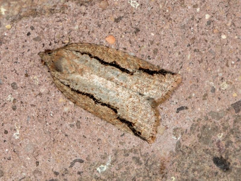Meritastis undescribed species at Melba, ACT - 2 Mar 2021