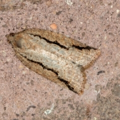 Meritastis undescribed species (A Tortricid moth) at Melba, ACT - 1 Mar 2021 by Bron