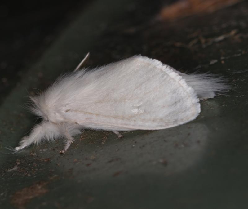 Lymantriinae (subfamily) at Melba, ACT - 2 Mar 2021