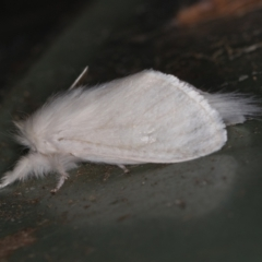 Lymantriinae (subfamily) (Unidentified Tussock moth) at Melba, ACT - 1 Mar 2021 by Bron