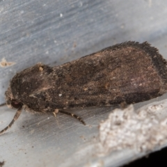 Proteuxoa undescribed species 1 at Melba, ACT - 1 Mar 2021 by Bron