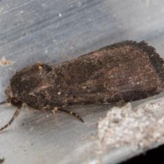 Proteuxoa undescribed species 1 at Melba, ACT - 1 Mar 2021 by Bron