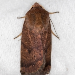 Proteuxoa porphyrescens (A Noctuid moth) at Melba, ACT - 1 Mar 2021 by Bron