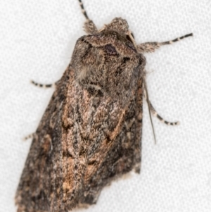 Proteuxoa provisional species 5 at Melba, ACT - 2 Mar 2021