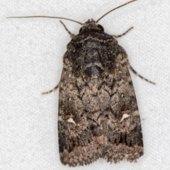 Proteuxoa (genus) (A Noctuid Moth) at Melba, ACT - 2 Mar 2021 by Bron