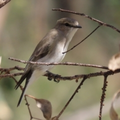 Microeca fascinans (Jacky Winter) at Namadgi National Park - 7 Apr 2021 by RodDeb