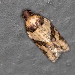 Dichelia clarana at Melba, ACT - 3 Mar 2021