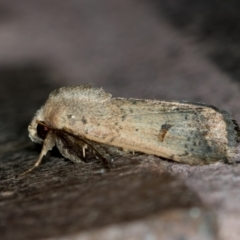 Proteuxoa tibiata (An Owlet moth) at Melba, ACT - 2 Mar 2021 by Bron