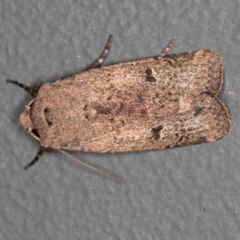 Proteuxoa tibiata (An Owlet moth) at Melba, ACT - 3 Mar 2021 by Bron
