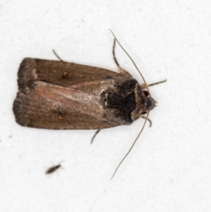 Proteuxoa provisional species 1 at Melba, ACT - 4 Mar 2021