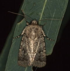 Proteuxoa capularis (Half-moon Noctuid) at Melba, ACT - 3 Mar 2021 by Bron