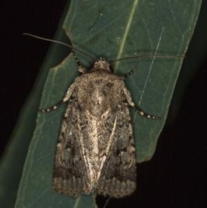 Proteuxoa capularis at Melba, ACT - 4 Mar 2021