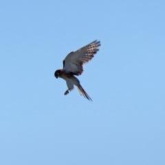 Falco cenchroides (Nankeen Kestrel) at Jerrabomberra, NSW - 8 Apr 2021 by RodDeb