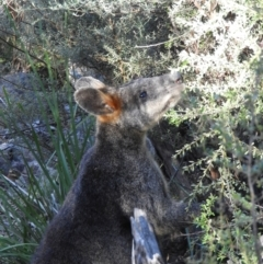 Wallabia bicolor (Swamp Wallaby) at Bullen Range - 2 Apr 2021 by MatthewFrawley
