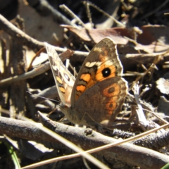 Junonia villida (Meadow Argus) at Bullen Range - 2 Apr 2021 by MatthewFrawley