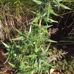 Xanthium spinosum (Bathurst Burr) at Queanbeyan, NSW - 6 Apr 2021 by natureguy