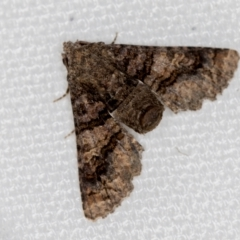 Pataeta carbo (Dark Euteliid) at Melba, ACT - 2 Feb 2021 by Bron
