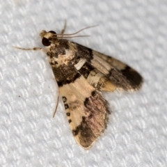 Nacoleia mesochlora (Pied Crambid) at Melba, ACT - 1 Feb 2021 by Bron