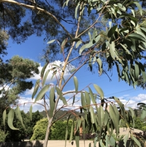 Eucalyptus pauciflora at Hughes Garran Woodland - 14 Jun 2020