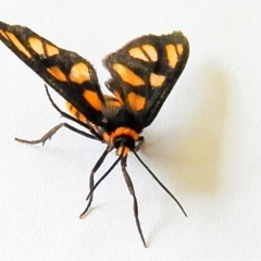 Amata (genus) at Crooked Corner, NSW - 9 Apr 2021