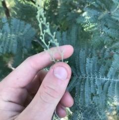 Acacia dealbata subsp. dealbata (Silver Wattle) at Acton, ACT - 6 Apr 2021 by Tapirlord