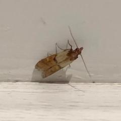 Plodia interpunctella (Indian meal moth) at Aranda, ACT - 9 Apr 2021 by KMcCue
