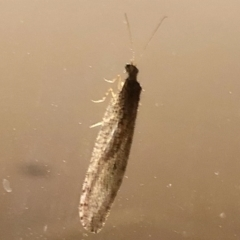 Osmylidae sp. (family) (Osmylid lacewing) at Aranda, ACT - 9 Apr 2021 by KMcCue