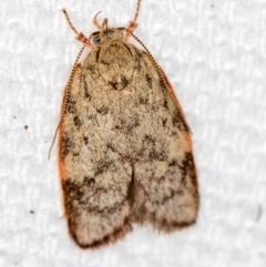 Garrha phoenopis (A Concealer moth) at Melba, ACT - 1 Feb 2021 by Bron