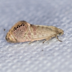 Eupselia melanostrepta (A Twig moth) at Melba, ACT - 1 Feb 2021 by Bron
