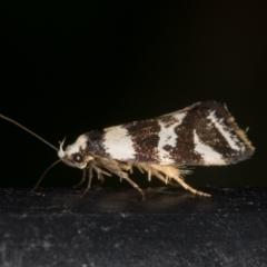 Isomoralla eriscota (A concealer moth) at Melba, ACT - 2 Feb 2021 by Bron