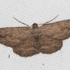 Ectropis bispinaria (Loop-line Bark Moth) at Melba, ACT - 2 Feb 2021 by Bron