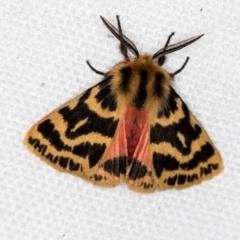 Spilosoma curvata (Crimson Tiger Moth) at Melba, ACT - 2 Feb 2021 by Bron