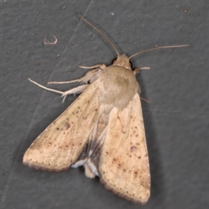 Helicoverpa (genus) at Melba, ACT - 2 Feb 2021