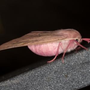 Arhodia lasiocamparia at Melba, ACT - 3 Feb 2021