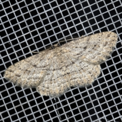Zermizinga sinuata (Lucerne Looper, Spider Moth) at O'Connor, ACT - 5 Apr 2021 by ibaird