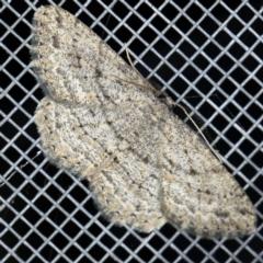 Zermizinga sinuata at O'Connor, ACT - 5 Apr 2021