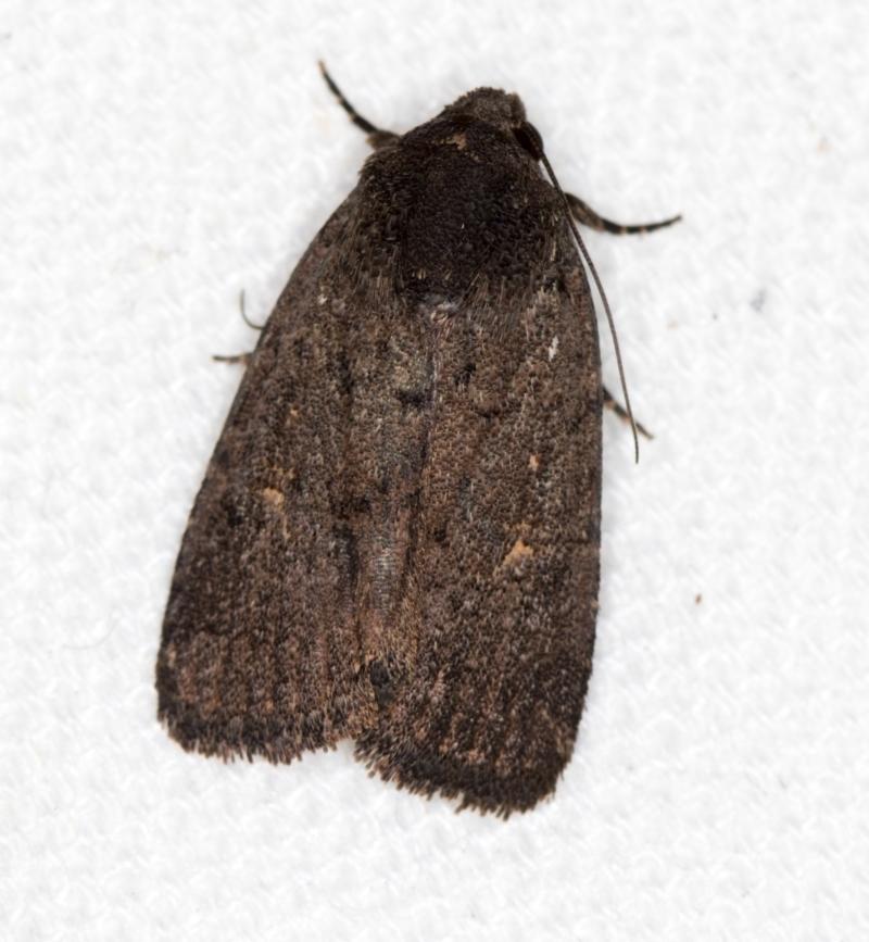 Proteuxoa provisional species 1 at Melba, ACT - 10 Mar 2021