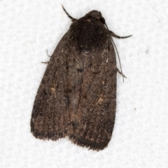 Proteuxoa provisional species 1 at Melba, ACT - 9 Mar 2021 by Bron