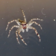 Helpis minitabunda (Jumping spider) at Jerrabomberra Wetlands - 9 Apr 2021 by RodDeb