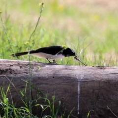 Rhipidura leucophrys (Willie Wagtail) at Jerrabomberra Wetlands - 9 Apr 2021 by RodDeb