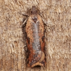 Tortricinae (subfamily) (A tortrix moth) at Melba, ACT - 2 Apr 2021 by kasiaaus