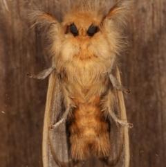 Euproctis edwardsii (Mistletoe Browntail Moth) at Melba, ACT - 4 Apr 2021 by kasiaaus