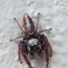 Opisthoncus grassator (Jumping spider) at Braidwood, NSW - 9 Apr 2021 by tpreston