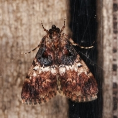 Orthaga thyrisalis (Teatree Web Moth) at Melba, ACT - 1 Apr 2021 by kasiaaus