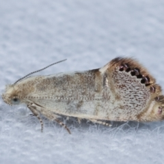 Eupselia melanostrepta (A Twig moth) at Melba, ACT - 1 Apr 2021 by kasiaaus