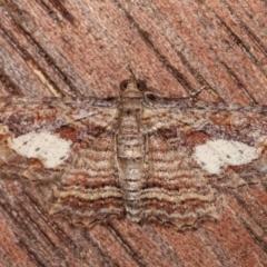 Chloroclystis filata (Filata Moth, Australian Pug Moth) at Melba, ACT - 1 Apr 2021 by kasiaaus