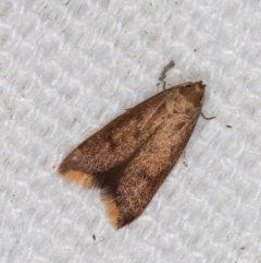 Tachystola acroxantha (A Concealer moth) at Melba, ACT - 10 Mar 2021 by Bron
