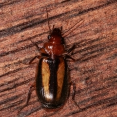 Philophloeus sp. (genus) (Bark carab beetle) at Melba, ACT - 2 Apr 2021 by kasiaaus